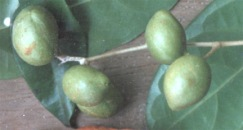 kopal-plod-zeleny-s-listami.jpg