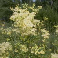 Túžobník brestový - rastlinný aspirín